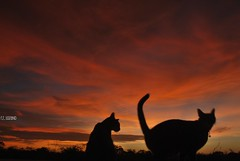 The great gig in the sky (Mister Blur) Tags: sky cats color silhouette clouds atardecer chats nikon sundown cola dusk tail gatos ciel cielo nubes puestadesol silueta nuages arwen d60 yucatán thelittledoglaughed mérida zoé méxico thecatwhoturnedonandoff rocoeno coth5