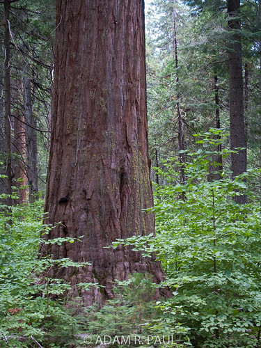 Sequoia and Dogwood