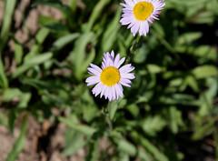 Alpine Aster (Aster alpingenum var alpingenum)? (Arboreal Boids) Tags: plant oregon alpine steens harneycounty alpineaster steensmountains asteralpingenum