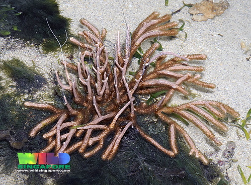 Unidentified leathery sea fan (Order Gorgonacea)