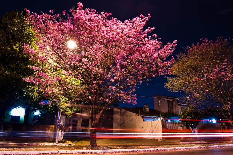Fotografía nocturna de un Lapacho rosado que florece sobre el paseo central de la Avenida Médicos del Chaco en la noche del viernes 3 de Setiembre, hoy día este lapacho ya no tiene flores pero se esta preparando otra tanda para dentro de poco. (Elton Núñez - Asunción, Paraguay)