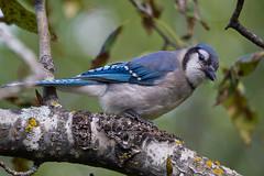 Blue Jay (Boreal Photography) Tags: birds wildlife bluejay boreal