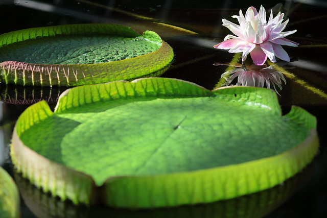 royal water lily? victoria lily?
