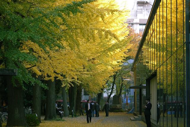 Ginkgo shining, University of Tokyo