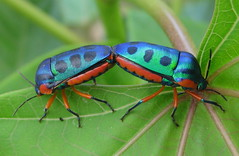 Rainbow shield bugs on Jatropha (tonrulkens) Tags: macro insects bugs pest biodiesel mozambique pemba hemiptera jatropha biofuel scutelleridae opposti beautifulmonsters jatrophascaposaxcurcas allnaturesparadise taxonomy:binomial=calideadregii elitebeetles