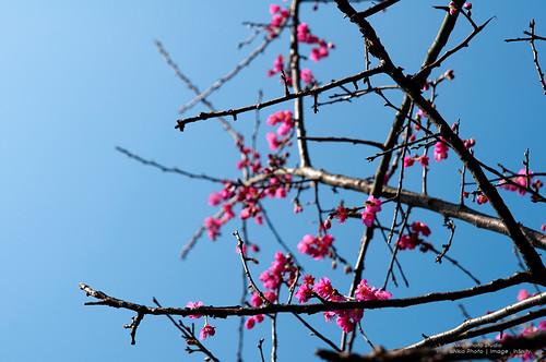 2011 三芝櫻花季