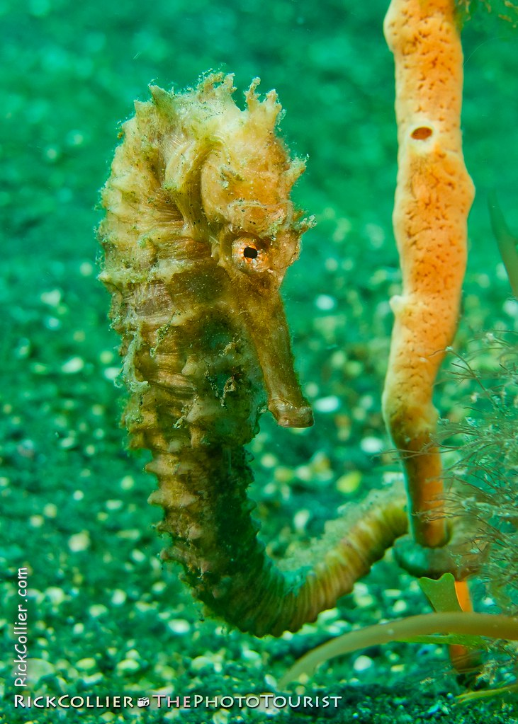 A pale seahorse clings to a tube sponge near the sandy bottom
