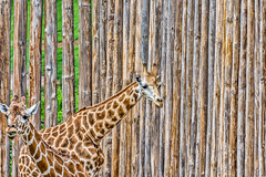 the same, but different (Pejasar) Tags: color texture animals mammals giraffe pattern aertistic