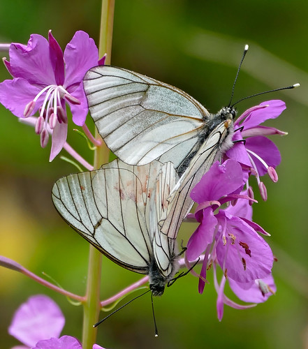 Black-veined White Butterflies (Aporia crataegi) mating