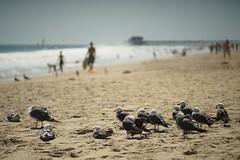 Waiting Around (tourtrophy) Tags: meyeroptikgorlitzorestor135mmf28 sonyalphaa7rii beach newportbeach seagulls gulls birds