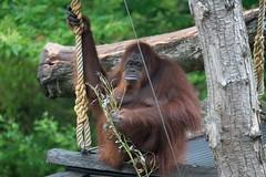 DSC00549 (sylviagreve) Tags: 2017 apenheul orangutan apeldoorn gelderland netherlands nl