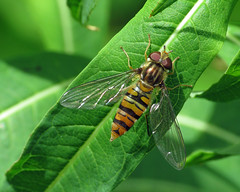 Marmalade Hoverfly - Episyrphus balteatus (erdragonfly) Tags: episyrphusbalteatus