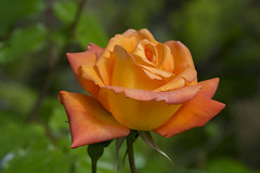 Suedtirol 15052017 029 2048 (Dirk Buse) Tags: lana trentinoaltoadige italien ita italy eu südtirol italia rose orange color colour farbe blüte natur nature olympus omd em5ii em5 mark 2 ii m43 mft 12100 121004 outdoor