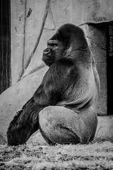 Asato, le grand mâle. (fabakira) Tags: fabakira fabakiraphotography fabakiraphotography2017 nikon d7000 nikkor nikkor200500 asato gorille dosargenté singe monkey beauval zoo zooparcdebeauval nature noirblanc monochrome loiretcher