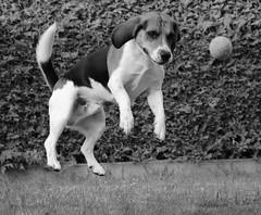 Lucky (LuckyMeyer) Tags: hund beagle haustier jagdhund dog black white schwarz weiss