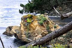 Point Lobos Wildflowers (Grace Pedulla Dillon) Tags: california montereybayarea ocean sea shore pacificcoast pacificocean coast rocky cliffs spring wildflowers pointlobos