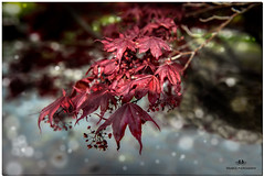 MAY 2017 NM1_3893_123-22 (Nick and Karen Munroe) Tags: japanesemaple maple mapletree tree trees heartlakeconservationarea heartlake heartlakeconservation beauty brampton beautiful red river bokeh blur focus leaves leaf foliage ontario outdoors ontariocanada canada colour color colors closeup nikon nickmunroe nickandkarenmunroe nature nickandkaren nikon2470f28 nikond750 munroedesignsphotography munroedesigns munroephotography munroe karenick23 karenick karenandnickmunroe karenmunroe karenandnick