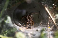 Pause déjeuner / Lunch Break (Nicolas Rouffiac) Tags: insecte insectes insect macro macros proxy nature animal animaux animals araignée spider déjeuner lunch abeille bee
