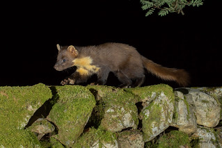Pine Marten - On the Move