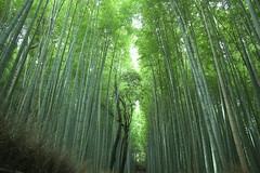 Kyoto Zen (Wilson Au | 一期一会) Tags: kyoto japan bamboo green canon eos5dmarkiii ef2485mmf3545usm arashiyamabamboogrove 京都 嵐山 日本