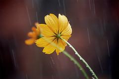Flor (Anselmo Garrido) Tags: flower rain garden flor stock chuva jardim flickrstock