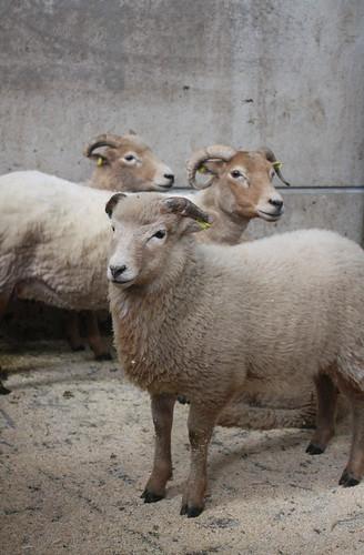 Portland sheep 2