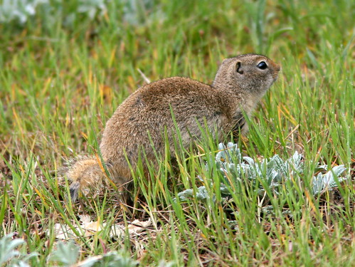 Wyoming Ground Squirrel 20100614