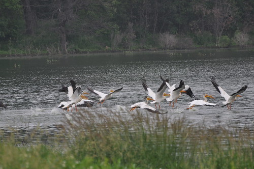 Pelican's at Schoeneberg's Marsh