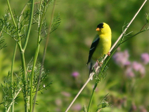 American Goldfinch 20100630
