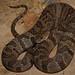 Nerodia sipedon - Northern water snake