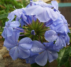 JULY RAIN (toyaguerrero) Tags: blue flower color rain flor indigo finepix plumbago catalan guerrero extremadura plasencia toya hs10 lluviadejulio maravictoriaguerrerocataln toyaguerrero maravictoriaguerrerocatalntrujiillana thecoolschoolblog