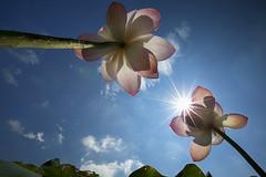 Heading Up! (Claire Chao) Tags: pink blue flower green flora lotus blossom taiwan bluesky    canoneos5dmarkii ntuankangfarm