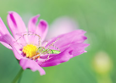 Beauty and the Beast (simply colleen) Tags: pink summer flower macro green june spider petals nikon texas dof purple legs bokeh naturallight spikes cosmos inmygarden 85mmf18 extensiontubes d80 bokehlicious natureycrap perfectpurplesaturday