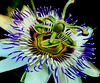 for my best girl (bdaryle) Tags: flower macro nature fleur sony details flor backlit passionflower greatphotographers awesomeblossoms brandondaryle bdaryle imagesbybrandon