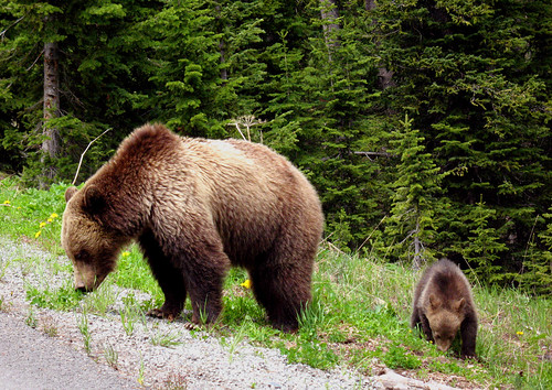 mama grizzly bear and cub