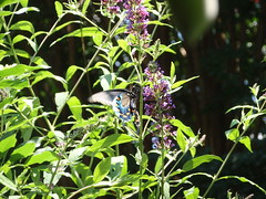 butterfly feeding (1)
