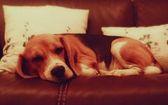 Well, someone's comfy (byakuchan) Tags: dog pet pets beagle dogs sleep hound indoor couch sofa lazy snooze rest zzz petsitting meisie july2010 takingtheartoflazinesstoawholenewlevel