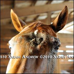 Trolley (Rock and Racehorses) Tags: face mare hole head trolley injury chestnut cavity nasal quarterhorse horserescueunited anoukbusch ska8755