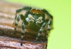 Salticidae > Hypoblemum sp. (mj_stevo) Tags: macro slr canon lens prime spider arachnid tubes australia brisbane m42 queensland extension reversed dslr 58mm jumpingspider salticidae hypoblemum canon550d mjstevo