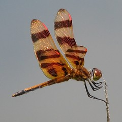 Halloween Pennant, male (Vicki's Nature) Tags: orange male canon georgia bravo dragonfly stripes return s5 pennant halloweenpennant gamewinner brasstownvalley natureoutpost macrolife vickisnature beautifulworldchallenges 100commentgroup returnneed6100