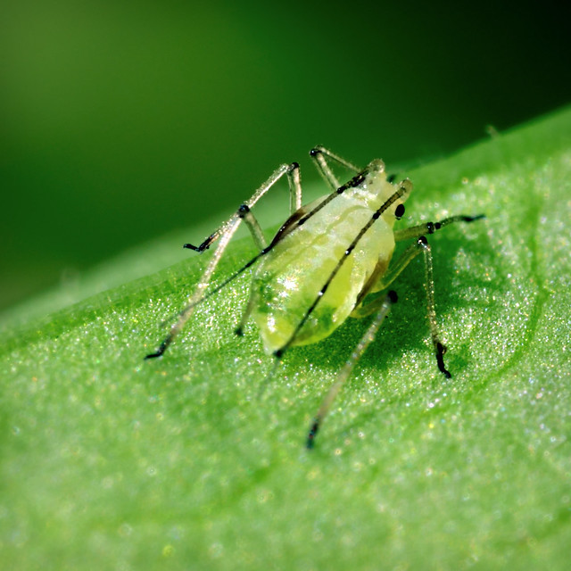 Aphid-ler on the Roof