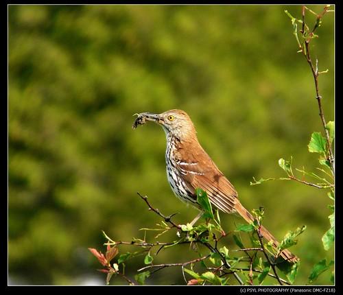 Brown Thrasher (Toxostoma rufum)