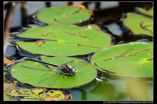 Lilypad Clubtail (Arigomphus furcifer)