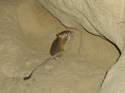 heermann's kangaroo rat