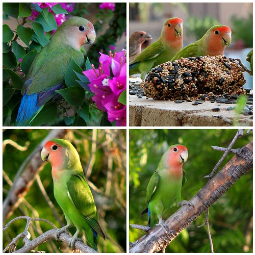love birds pictures. Peach Faced Love Bird.