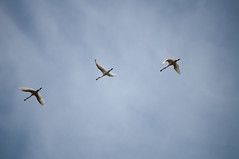 DSC_2286 (Alexander van der Sar) Tags: birds lepelaar
