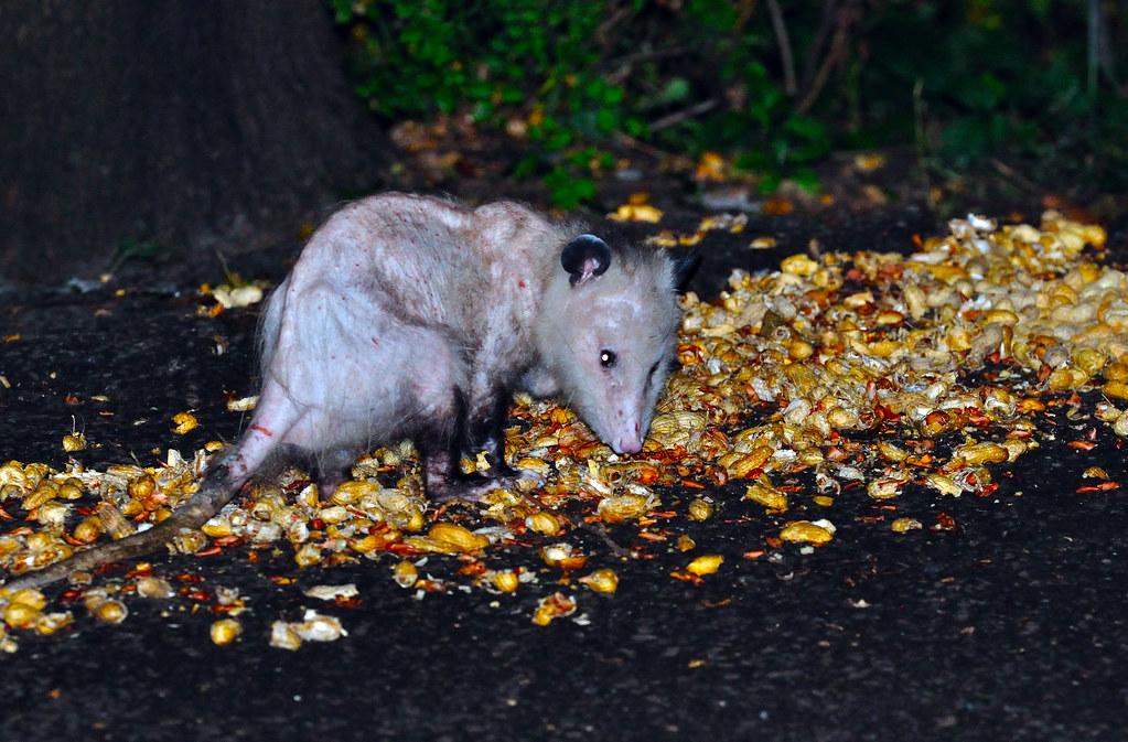 Possum Peanut Raid