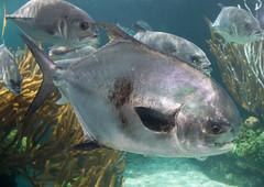 The permit, Trachinotus falcatus (brian.gratwicke) Tags: fish permit bermuda the falcatus trachinotus taxonomy:binomial=trachinotusfalcatus