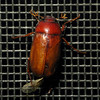 May Beetle (zxgirl) Tags: night bug insect flash beetle insects screen bugs beetles mybackyard arthropods arthropoda s5 arthropod coleoptera scarabbeetle insecta maybeetle dcr250 raynox scarabbeetles scarabaeidae melolonthinae phyllophaga polyphaga scarabaeoidea img4631 melolonthini maybeetles
