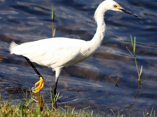 Snowy Egret 20100711